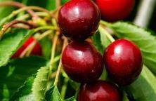cherries-793762_960_720