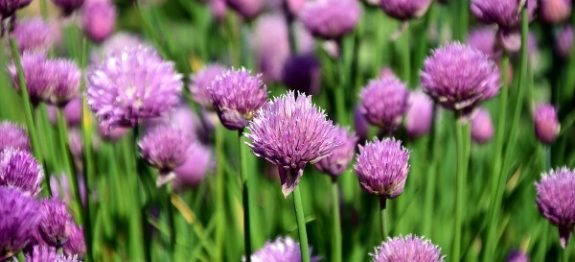 chives-2339601_960_720