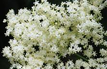 elderberry-350026_640
